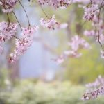 Shillong turns pink as cherry blossoms take over the city