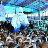 Bird Flu Live Updates: Over 69,000 birds culled in Kerala